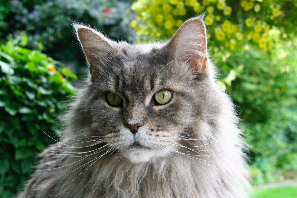 Maine Coon Dehors